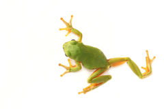 Tree frog Hyla arborea on a white background. Tree frog Hyla arborea, on a white background royalty free stock photo