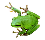 Tree frog Hyla arborea on a white Stock Image