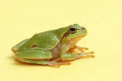 Tree frog Hyla arborea on a yellow background Stock Image