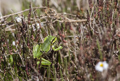 Tree Frog ((Hyla orientalis) on  the Bush Royalty Free Stock Photography