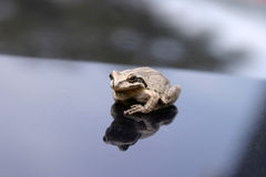Tree Frog I Found One Day Royalty Free Stock Photo