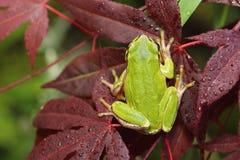 Tree frog on japanese maple leaf Stock Image