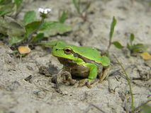 Tree frog on land Royalty Free Stock Photography