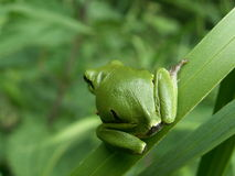 Tree frog on leaf. Tree frog waiting on leaf for a perfect jump royalty free stock photography