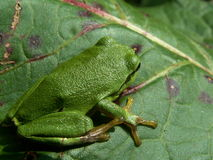 Tree frog on leaf Royalty Free Stock Photos