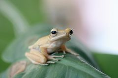 Tree frog on leaf, Stock Photography