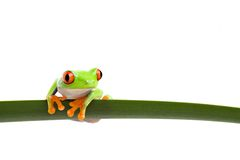 Tree frog on a leaf Royalty Free Stock Photography