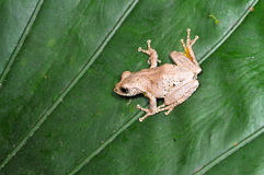 Tree frog on the leaf Stock Images