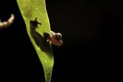 Tree frog leaf amphibian hiding amazon rain forest royalty free stock photos