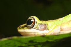Tree Frog. On leaf with big eye Royalty Free Stock Photo