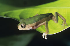 Tree frog on leaf close-up Royalty Free Stock Photo