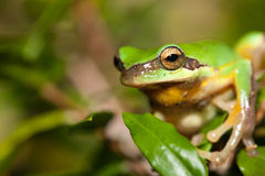 Tree frog on the leaf (Hyla chinensis) Stock Photography