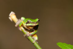 Tree frog on the leaf (Hyla chinensis) Royalty Free Stock Photos