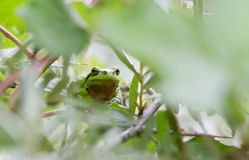 Tree frog on leaf Royalty Free Stock Photo