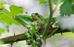 Tree frog on leaf Stock Photography
