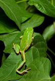 Tree frog on leaves Royalty Free Stock Photography