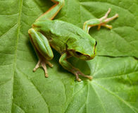 Tree frog on leaves background Stock Image