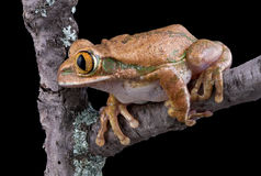 Tree frog on limb. A big-eyed tree frog is staring at something while sitting on a branch Royalty Free Stock Photos