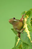 Tree frog Litoria infrafrenata Stock Image