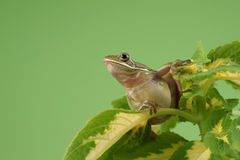 Tree frog Litoria infrafrenata. On a green background Royalty Free Stock Photography