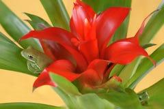 Tree frog Litoria infrafrenata and Guzmania Bromeliaceae Stock Images