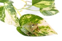 Tree frog Litoria infrafrenata on the leaf of the plant called scindapsus and isolated on a white background. Tree frog Litoria infrafrenata, on the leaf of the Stock Photography