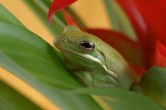 Tree frog Litoria infrafrenata Stock Photos