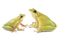 Tree frog Litoria infrafrenata Stock Photography