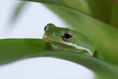 Tree frog Litoria infrafrenata Royalty Free Stock Image