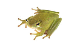 Tree frog Litoria infrafrenata Stock Photo
