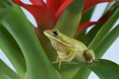Tree frog Litoria infrafrenata Royalty Free Stock Images
