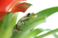 Tree frog, Litoria infrafrenata on a white background Stock Photos