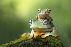 Tree Frog. Little Tree frog wiht Rhacophorus reinwardtii frog Royalty Free Stock Photography