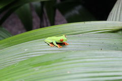 Tree Frog. Lone green tree frog with orange eyes resting on a wide palm leaf Royalty Free Stock Image