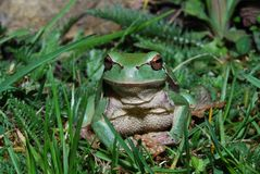 Tree frog look into the camera Stock Images