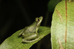 Tree frog looking up Royalty Free Stock Images