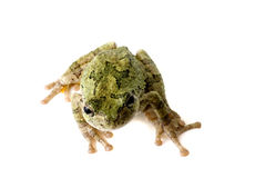 Tree Frog Looking Up Royalty Free Stock Image