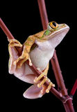 Tree frog looking up Royalty Free Stock Photography