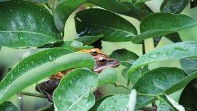 Tree frog mating Royalty Free Stock Photo