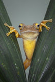 Tree Frog. Monitor the situation around Royalty Free Stock Photos
