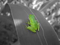 Tree frog on monochrome leaf Royalty Free Stock Images