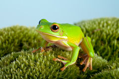 Tree frog on moss Stock Photos