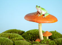 Tree frog on mushroom. White-lipped tree frog on a toadstool or mushroom royalty free stock photo