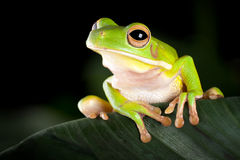 Tree frog in natural environment Royalty Free Stock Images