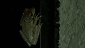 Tree frog at night inside of porch, CLOSE, 4K. A tree frog hangs on to a wall inside of a screened-in porch at night, CLOSE, 4K stock footage