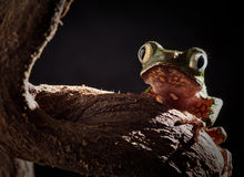 Tree frog at night in jungle moonlight Stock Photos