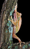 Tree frog on old branch. A big-eyed tree frog has his mouth open while climbing on an old branch Stock Photos
