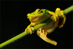Tree Frog On Reed Royalty Free Stock Image