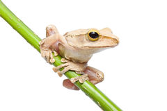 Tree frog. On papyrus tree Stock Photo