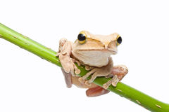 Tree frog. On papyrus tree Royalty Free Stock Photography